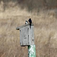 tree swallows - breeding pair