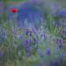 Mohn - Papaver - poppy by Juliane Myja