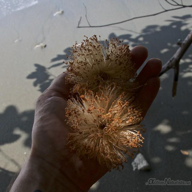 fallen flower 0000 Corcovado, Osa peninsula, Costa Rica