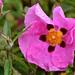 pink poppy Ireland