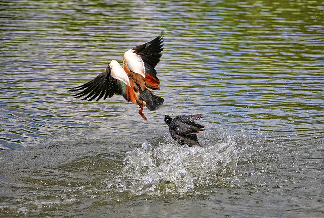 A little Coot is trying to cast out a much bigger Egyptian Goose, 3 of 5