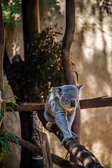 Koala at the Los Angeles Zoo