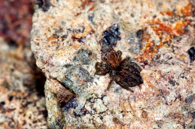 Salticidae - Sierra de Aguas (Málaga) (1)