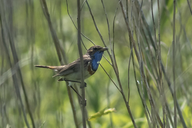 Bluethroat/blauwborst