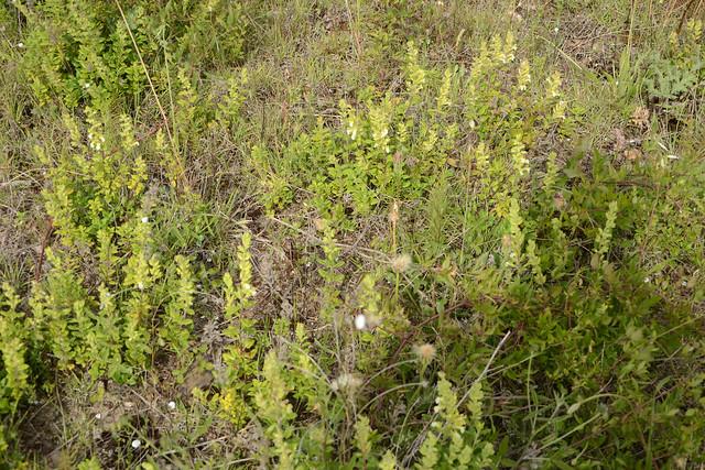 Teucrium flavum - germandrée jaune 34926463695_6dcf6d197f_z