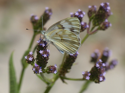 Checkered White (Pontia protodice)