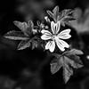 floare alb negru -6080011