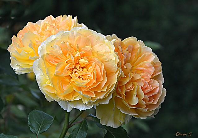 Weekend Roses, Nikon D7100, AF-S DX Nikkor 18-300mm f/3.5-5.6G ED VR