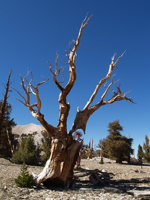 104 Vicki peeks through a hole in the trunk of a dead bristlecone pine at the Patriarch Grove