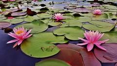 Pink Water Lilies At Cash Lake 2017