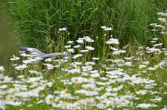 Envol furtif entre lac et prairie fleurie