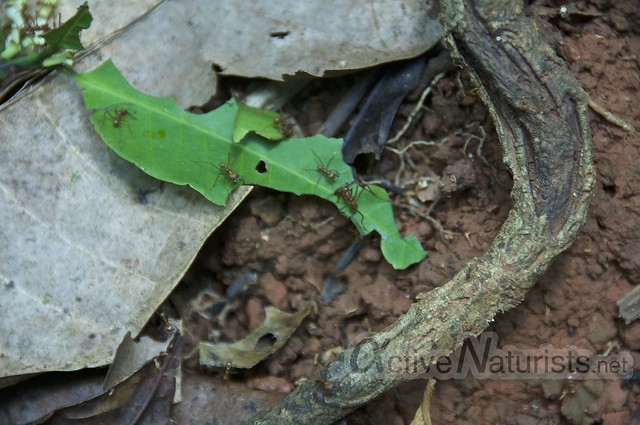 leaf-cutter ants 0002 Corcovado, Osa peninsula, Costa Rica