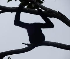 Anonymous Monkey