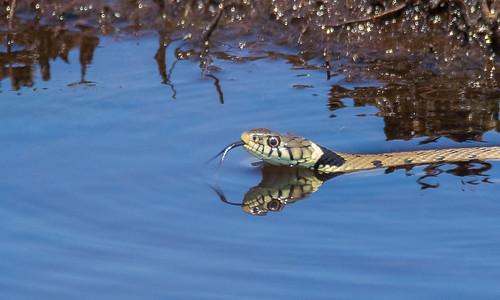 Grass snake swiming