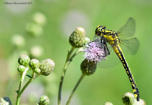 Italian dragonfly