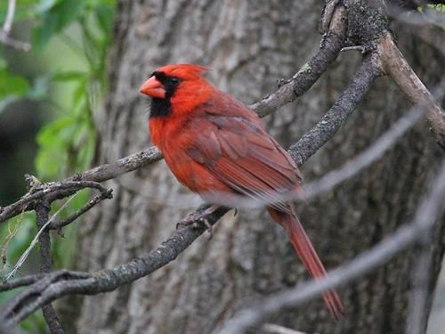 bird northerncardinal cardinaliscardinalis oshawa ontario canada can rainbow bestbird