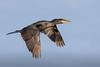 Biguá - Phalacrocorax brasilianus - Neotropic Cormorant