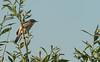 Grote karekiet / Acrocephalus arundinaceus