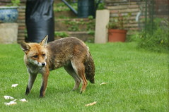 foxes June 2017