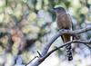Fan-tailed Cuckoo 2017-05-05 (60D_0598)