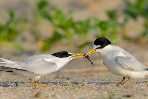 courtship tern vegetation climateendangered wildlife sternulaantillarum plants nature belmar belmarbeach beach sand bird leasttern feed shore newjersey unitedstates us nikon d7200