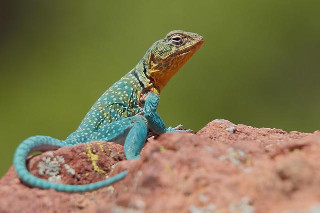 Eastern Collared Lizard, Canon EOS 7D, Sigma 50-500mm f/4-6.3 APO HSM EX