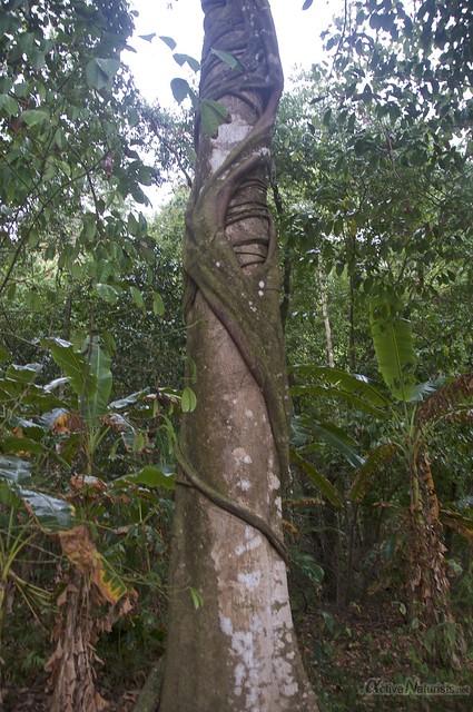strangler fig 0000 Corcovado, Osa peninsula, Costa Rica