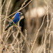 Blue Grosbeak by Stephen R. D. Thompson