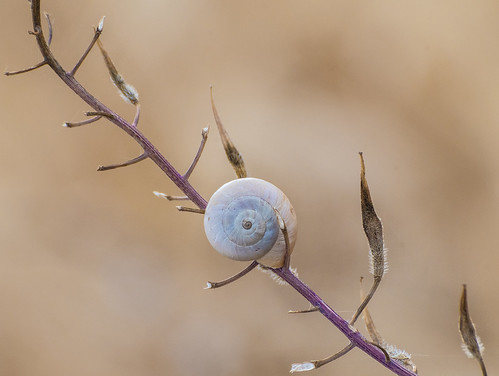 solitary snail