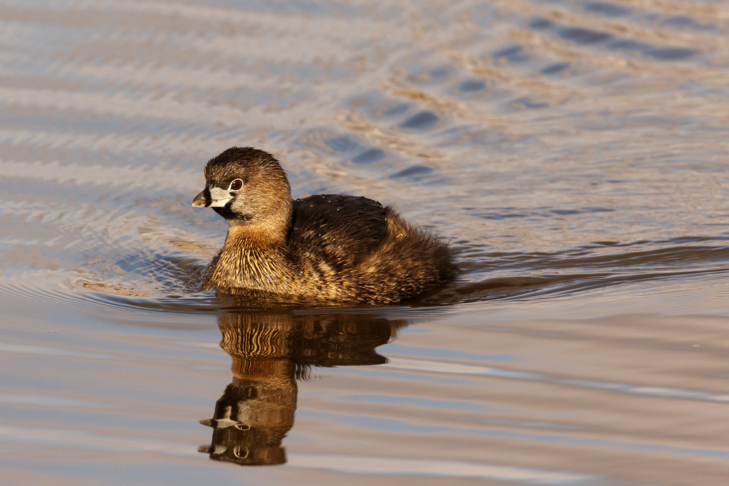 A pied-billed grebe leaves ripples in its wake as it swims on Rest Lake