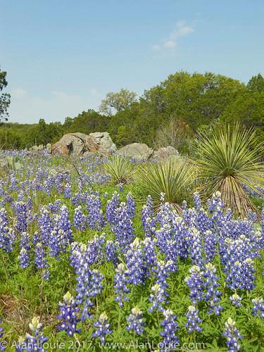 landscape flowers texas burnet unitedstates us