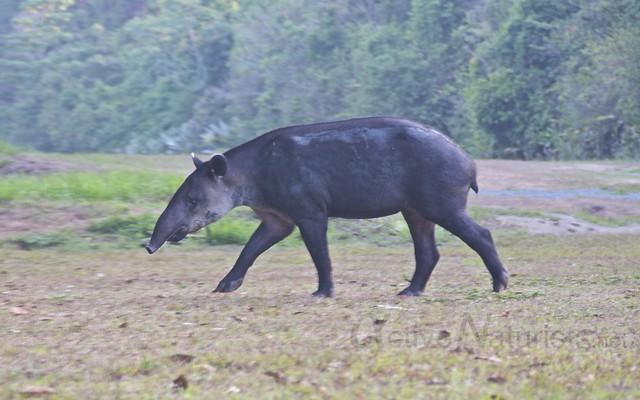 tapir 0003 Corcovado, Osa peninsula, Costa Rica