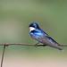 *** hirondelle bicolore  / tree swallow