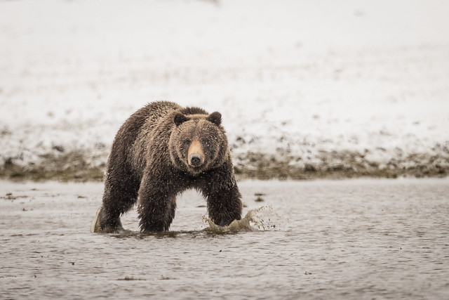 Grizzly (Explored), Canon EOS-1D X MARK II, Canon EF 800mm f/5.6L IS