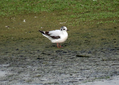 Little Gull - Hydrocoloeus minutus
