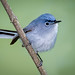 Blue-gray Gnatcatcher by Eric Gofreed