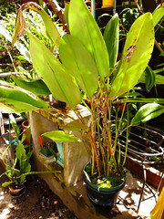 Pleurothallis bicornis species orchid, 1st bloom  5-17