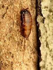 Wood Cockroach Female
