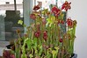 Carnivore - Pitcher plants