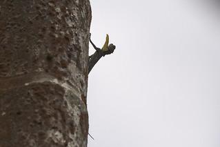 Draco: The Flying Lizard
