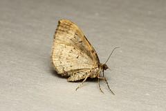 Xanthorhoe pontiaria - Hodges # 7379 - Everett WA
