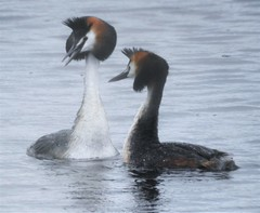 Pair of Great Crested Grebes