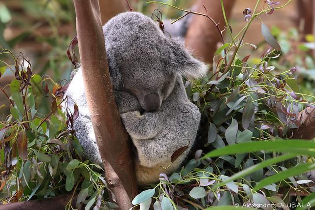 Koala nap time