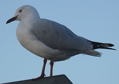 Sea Gull at Scarborough (5)