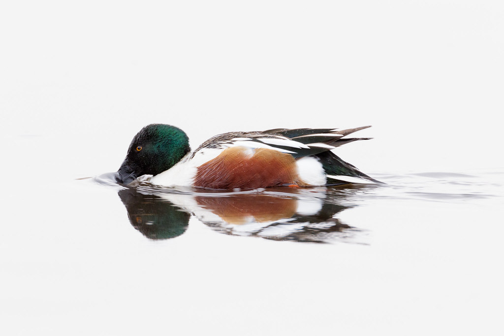 A northern shoveler drinks as he swims across Horse Lake.