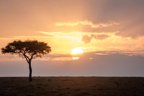 plains serian eastafrica kenya safari sunset acacia ngareserian maasaimara grassland maranorth vacation wildlife mara alexwalker