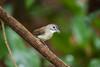 Moustached Babbler (Malacopteron magnirostre)