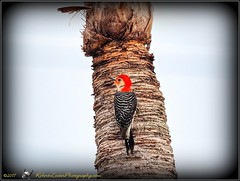 2017-06-01_P6010012_red bellied woodpecker,clwtr_2 - Hint of Moderation