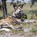 Small photo of African wild dog lying