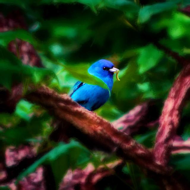 Lynn's Blue Bunting